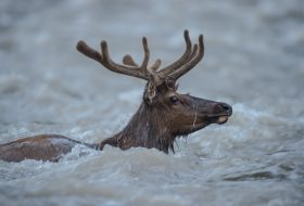 Elk swimming the South Fork of the Shoshone River.